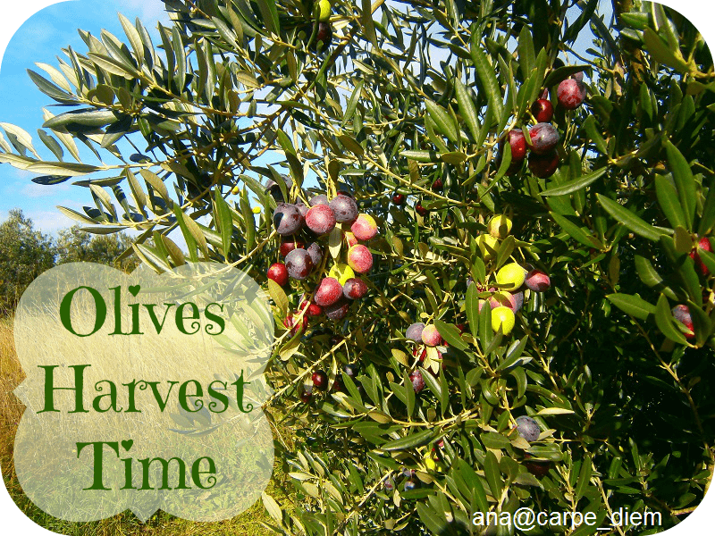 olives-harvest-time